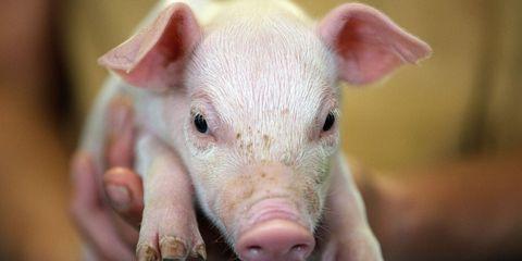 Skin, Vertebrate, Pink, Domestic pig, Suidae, Organ, Snout, Livestock, Terrestrial animal, Fawn,