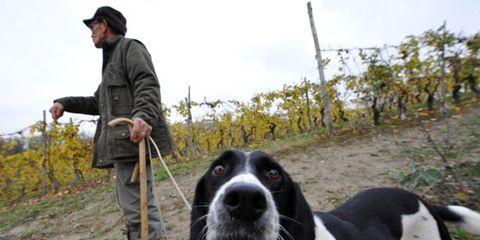 truffle-dogs