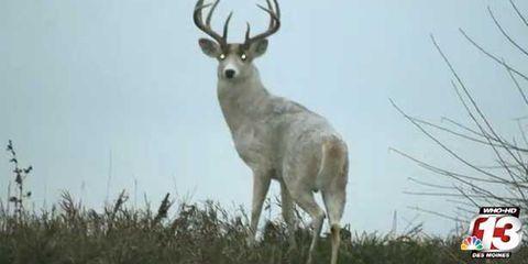 white-stag