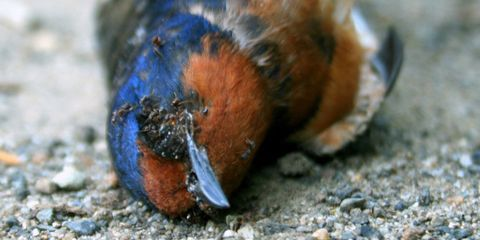Organism, Adaptation, Organ, Terrestrial animal, Bird, Close-up, Colorfulness, Electric blue, Cobalt blue, Macro photography,