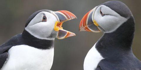 Organism, Daytime, Beak, Natural environment, Vertebrate, Bird, Photograph, White, Auk, Puffin,