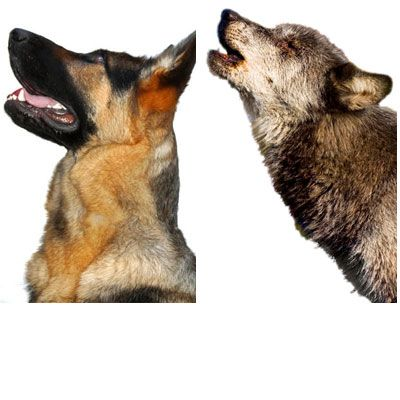 german shepherd and a wolf