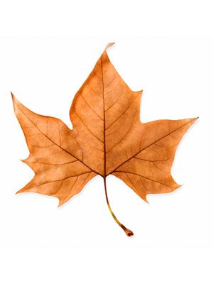 Brown, Leaf, Orange, Tan, Maple leaf, Deciduous, Maple,