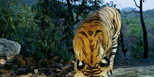 Bengal-Tiger-43