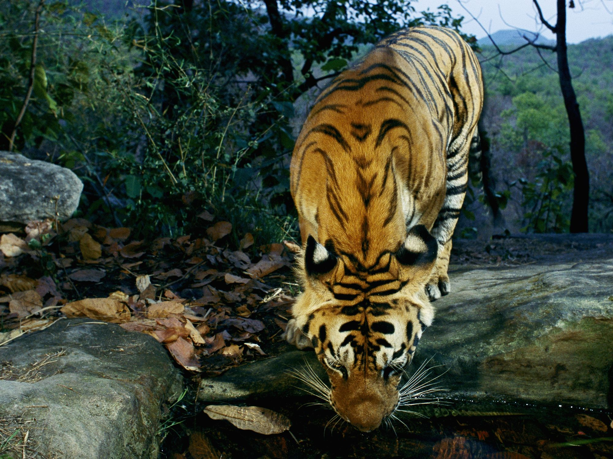 what is the future of bengal tiger?