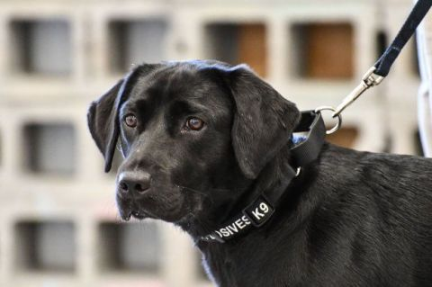 Dog, Canidae, Dog breed, Mammal, Labrador retriever, Dog collar, Snout, Sporting Group, Carnivore, Retriever,