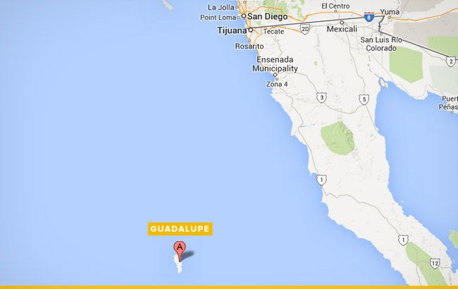 best-places-to-dive-with-sharks-guadalupe-650