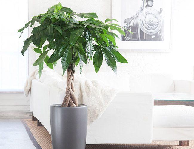 Money-Tree-Gear-Patrol1 Best Feng Shui Houseplants on flowers houseplants, ornamental bamboo houseplants, palm houseplants, indoor houseplants,