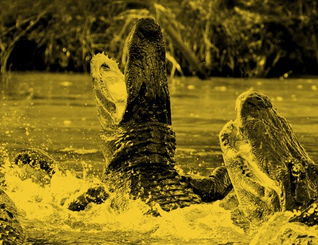 gear-patrol-guide-to-life-animal-attack-gator
