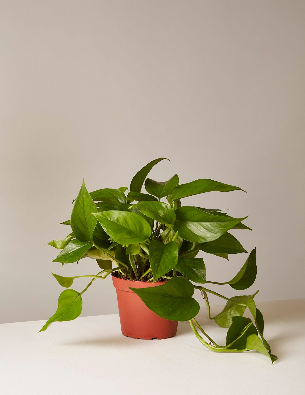 The 9 Best Indoor Plants for Every Kind of Person - Gear Patrol Common House Plant Red on common bathroom plants, common flowering plants, common house flowers, common gardening plants, common patio plants, common succulents, indoor plants, common house mushrooms, palm plants, common pasture plants, common outdoor plants, common las vegas plants, common tropical plants, common poisonous plants, common house eggs, common house design, common office plants, common dry plants, common house fire, common fall plants,