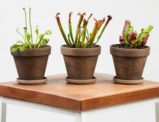 Need a Father's Day Gift? Consider Carnivorous Plants