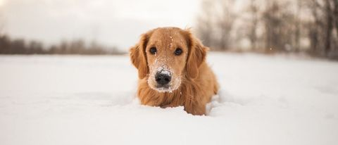 Dog Helps Out in Snow
