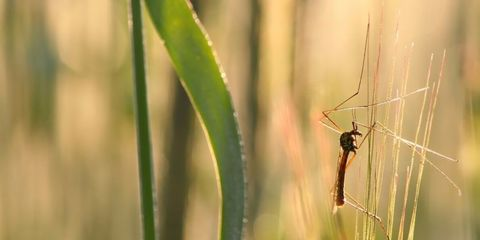 Mosquito on Grass