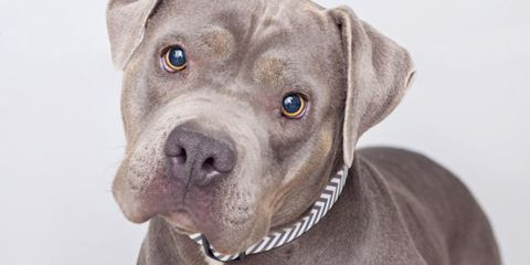 Pit Bull Boy With Aspergers