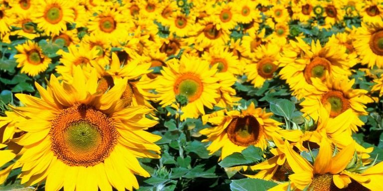 Sunflower facts things you didnt know about sunflowers getty imageseyeon mightylinksfo Choice Image