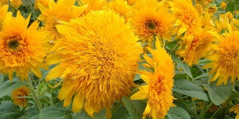 Sunflower facts things you didnt know about sunflowers image mightylinksfo