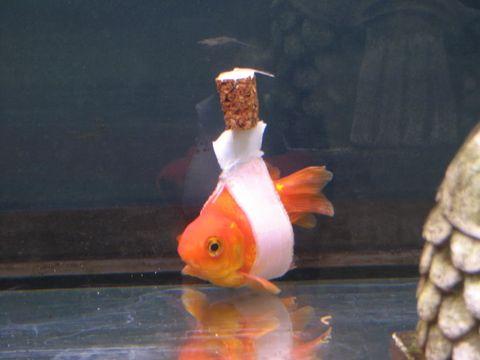 Body of water, Organism, Vertebrate, Fish, Fin, Orange, Underwater, Carmine, Goldfish, Tail,