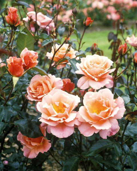 Plant, Flower, Petal, Pink, Peach, Rose family, Orange, Botany, Rose, Rose order,