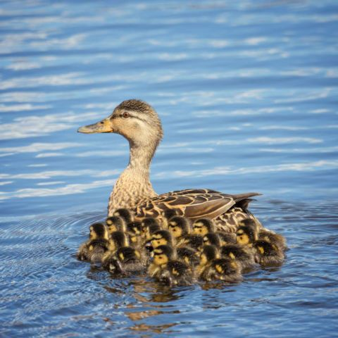 Leave it to this winged Mom to keep a close watch on her little ducklings.