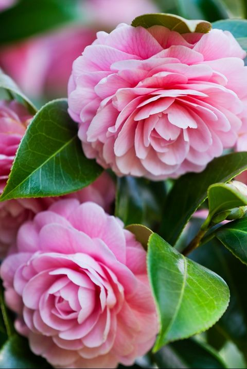 Camellia - Flower Meanings