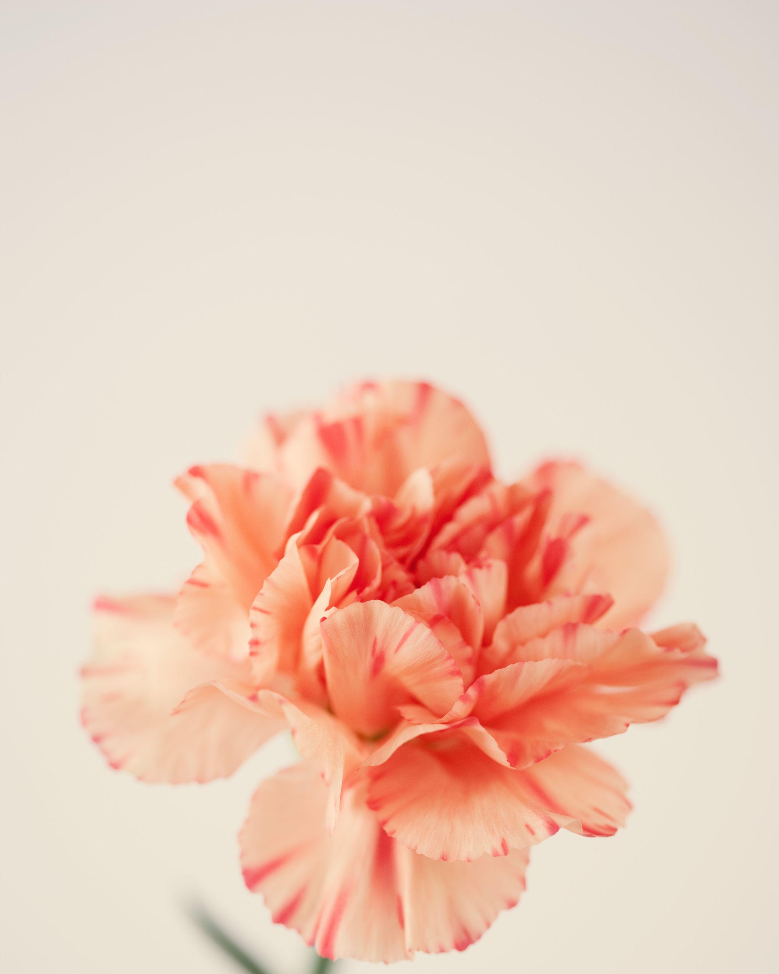 Carnation, studio shot