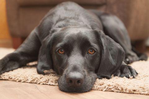 Skin, Dog breed, Vertebrate, Dog, Floor, Carnivore, Snout, Comfort, Flooring, Terrestrial animal,