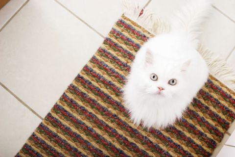 White Cat Sitting on Carpet