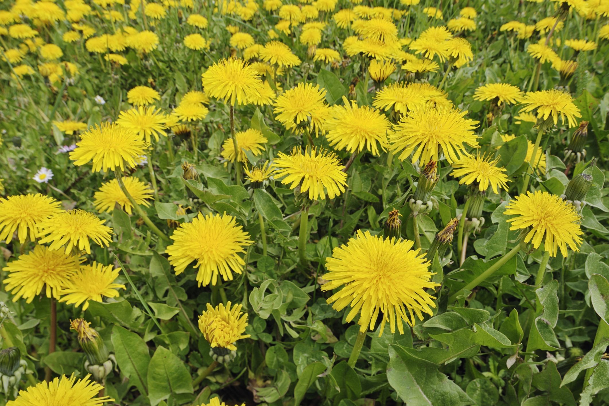 Edible Weeds Wild Plants And Weeds You Can Eat