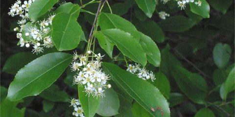 Black Cherry Leaves