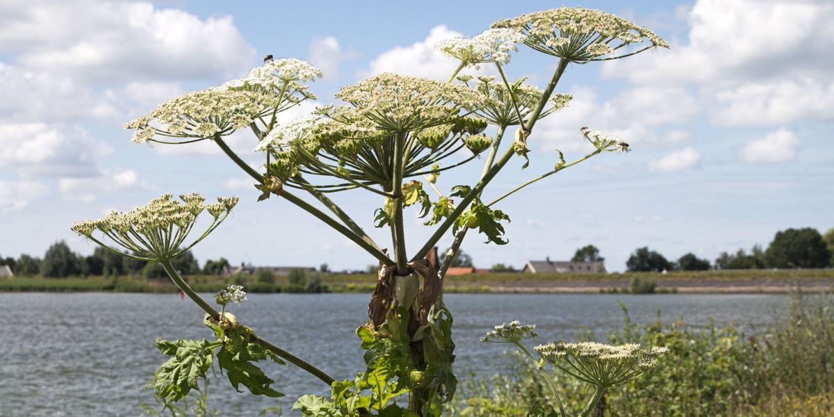 Giant Hogweed Michigan Map.Giant Hogweed Causes Burns This Summer Hogweed Facts