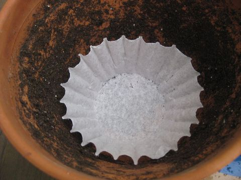 Coffee Filter Plant