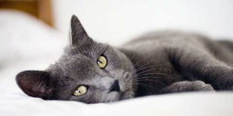 Small to medium-sized cats, Whiskers, Felidae, Carnivore, Vertebrate, Cat, Iris, Snout, Terrestrial animal, Comfort,