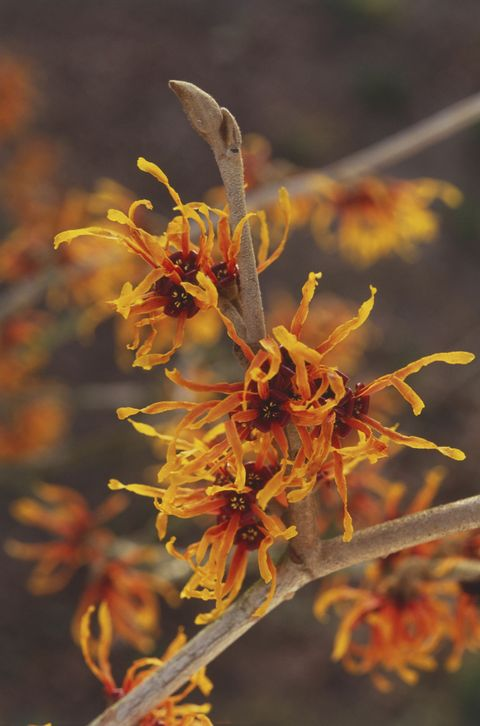 "<p>The <a href=""http://www.chicagobotanic.org/plantinfo/smart_gardener/which_witch_hazel_should_be_your_yard"" target=""_blank"">shaggy, spidery orange blooms</a> on this tree sprout winter and cluster together on branches. They are very hardy and would be a welcomed colorful addition to your otherwise white (thanks, snow) and brown backyard. </p>"