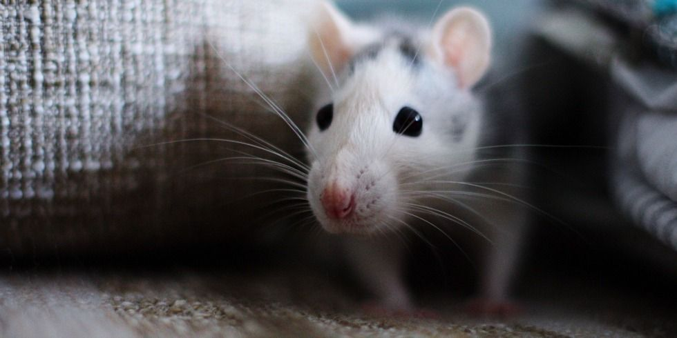 Home remedies for mice and rat removal