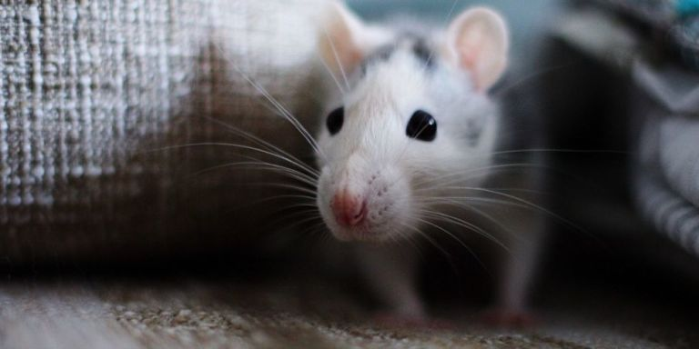 How To Get Rid Of Mice In The House Fast Best Way To Get