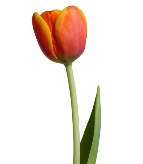 orange and yellow tulip