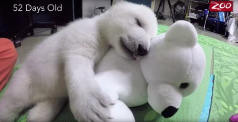 Columbus Zoo Polar Bear Cub