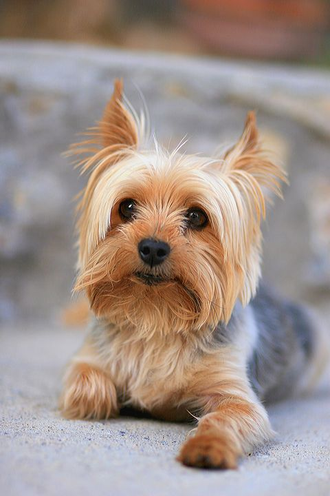Small Dog Breeds That Make for Perfect Companions yorkshire terrier