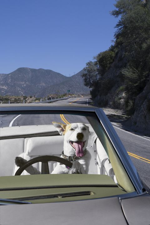 dog in a car on the road