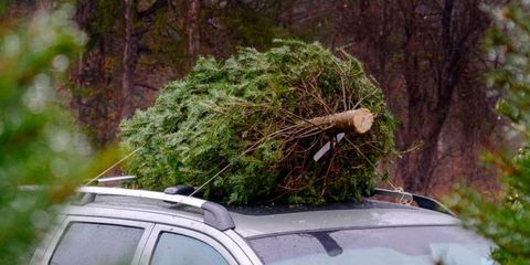 Bugs In Christmas Trees.Christmas Tree Bugs How To Prevent Christmas Tree Bugs