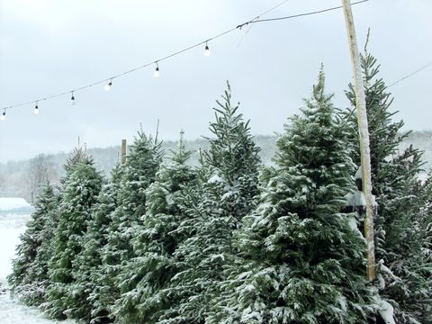 Branch, Winter, Freezing, Snow, Evergreen, Twig, Spruce-fir forest, Pine family, Conifer, Temperate coniferous forest,