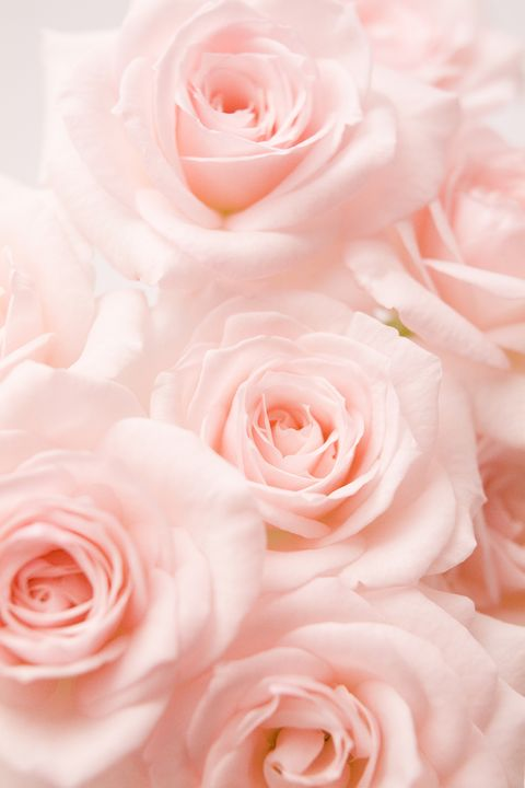 14 rose color meanings what do the colors of roses mean for image getty images light pink roses mightylinksfo