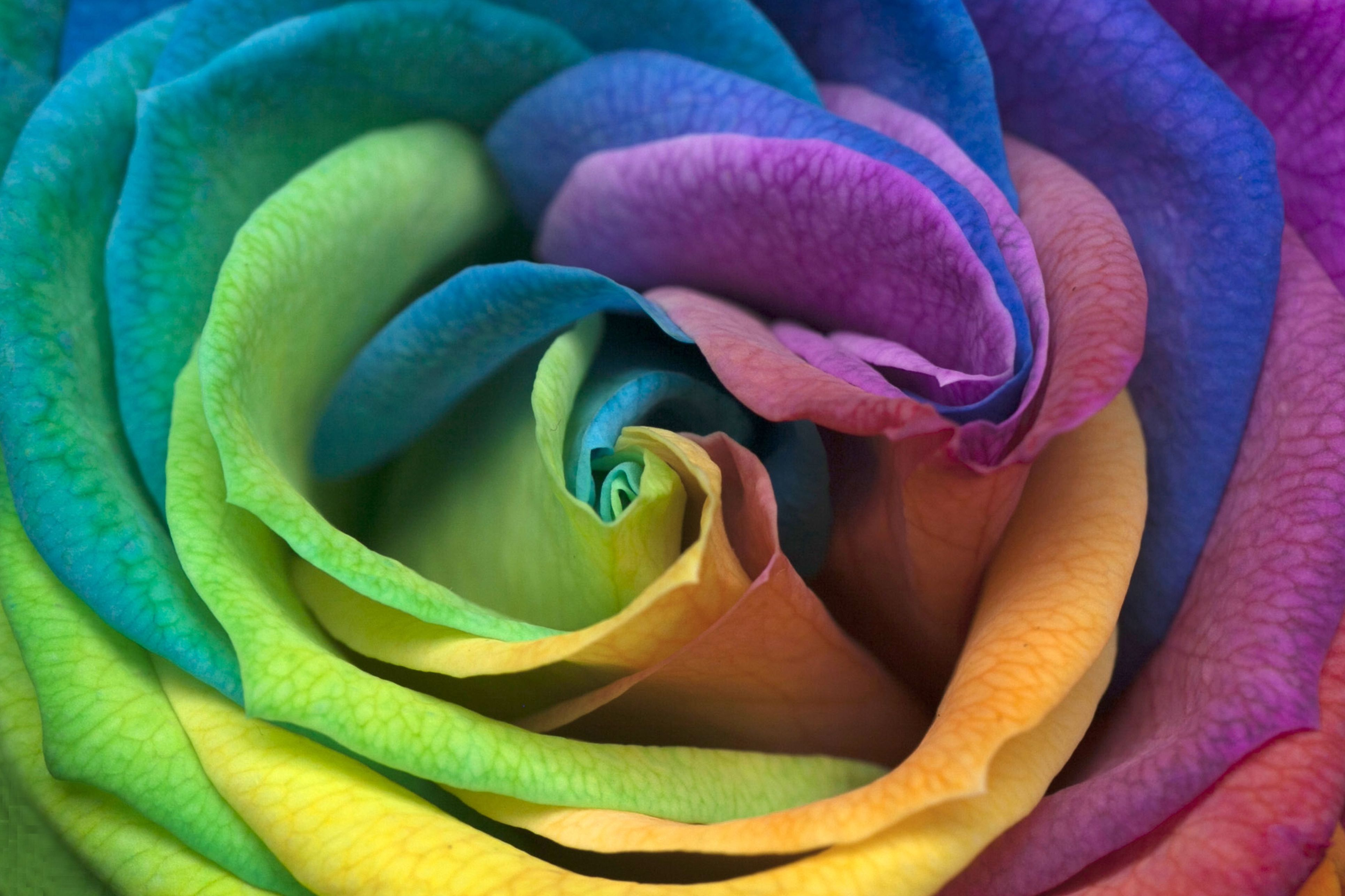 14 Rose Color Meanings What Do The Colors Of Roses Mean For Valentine S Day