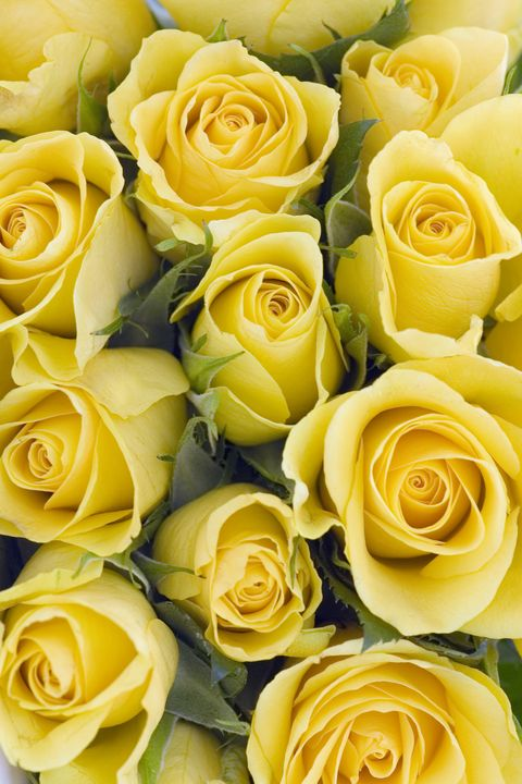 14 rose color meanings what do the colors of roses mean for image getty images yellow roses mightylinksfo