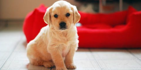 Dog breed, Dog, Carnivore, Flooring, Floor, Dog supply, Puppy, Couch, Snout, Fawn,