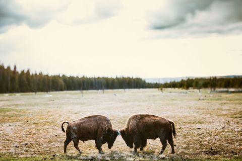 Natural landscape, Wildlife, Bovine, Herd, Pasture, Sky, Grazing, Bison, Grassland, Highland,