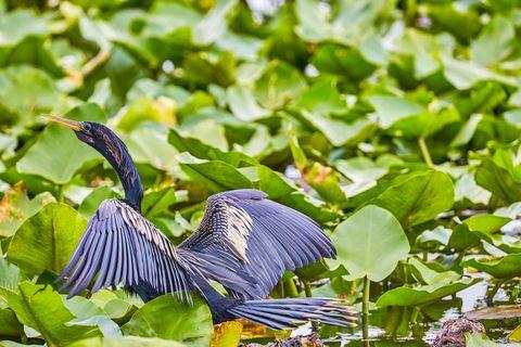Bird, Feather, Little blue heron, Beak, Heron, Green heron, Botany, Wildlife, Butorides, Great blue heron,