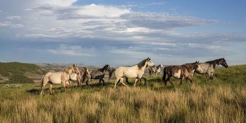 Herd, Horse, Pasture, Grassland, Sky, Wildlife, Natural landscape, Ecoregion, Cloud, Mustang horse,
