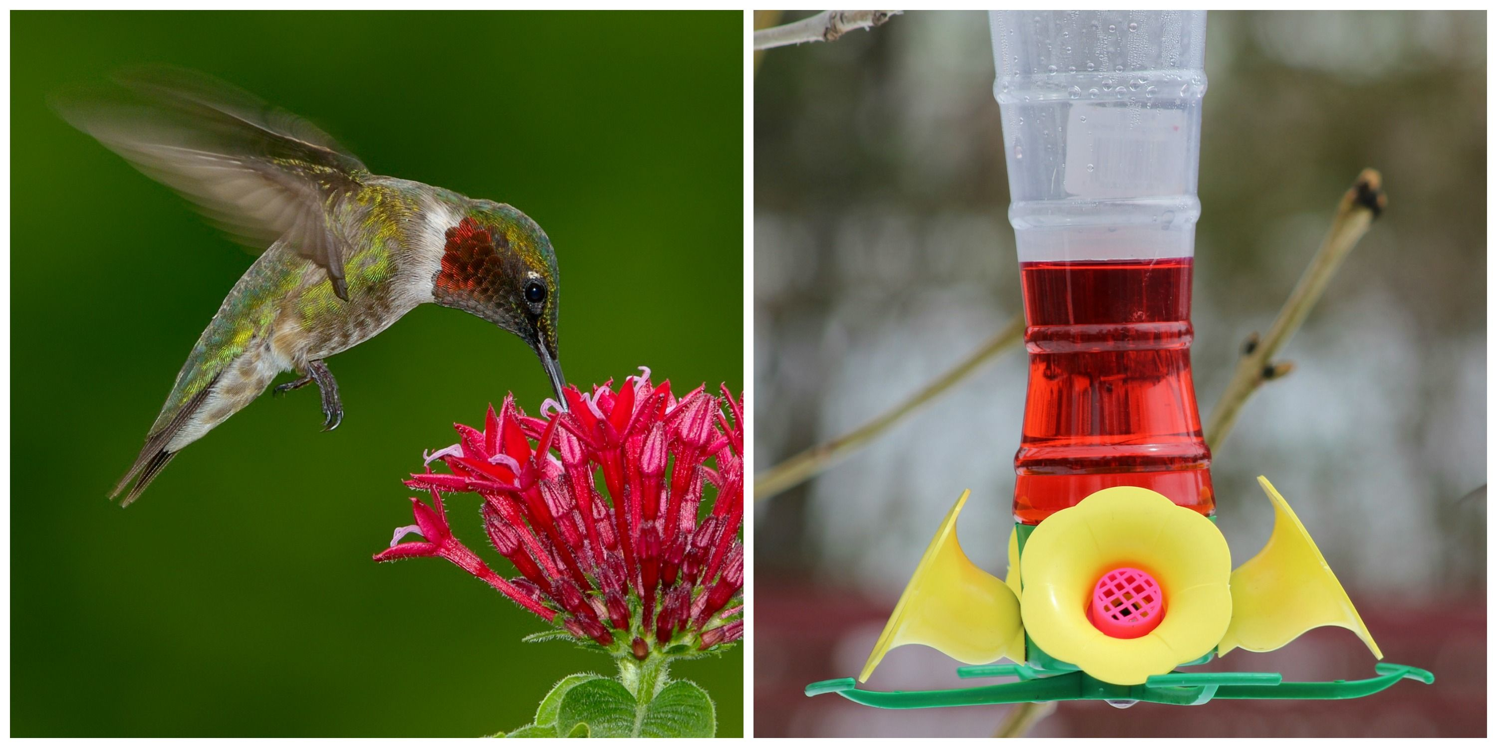 Red Dye Nectar Might Be Killing Hummingbirds - Red Dye Nectar Under ...