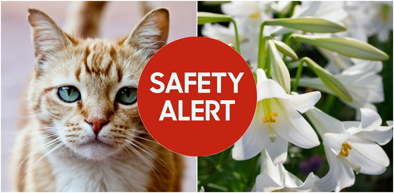 Easter lilies toxic to cats easter flowers deadly to cats izmirmasajfo Choice Image